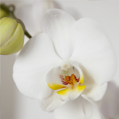 Phalaenopsis wit close-up