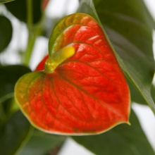 anthurium oranje close-up