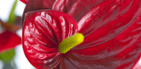 anthurium rood close-up