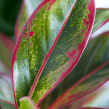 aglaonema roze close-up