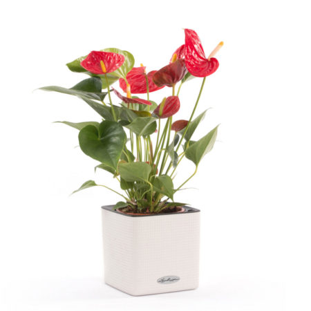 Anthurium Lechuza® cube color 14